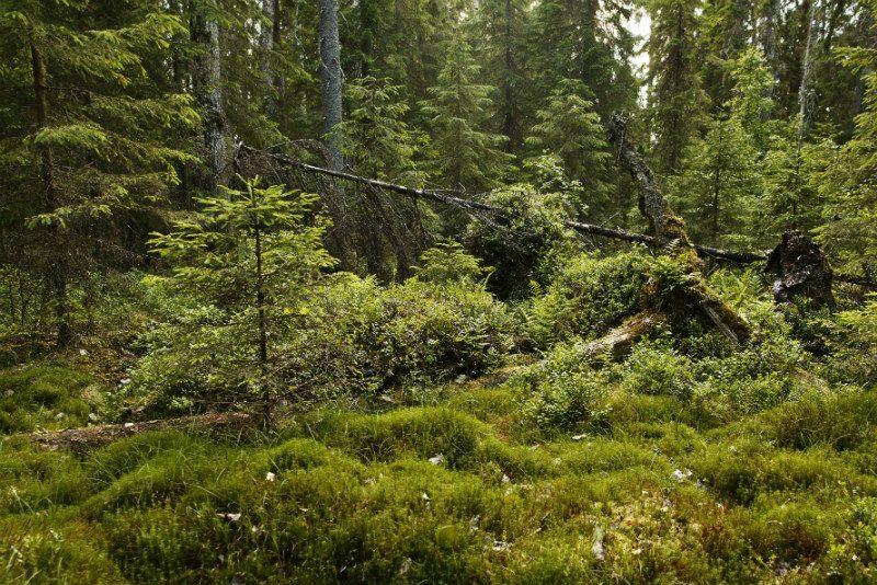 Finnish forest